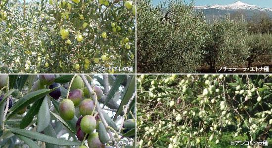 4種オリーブ
